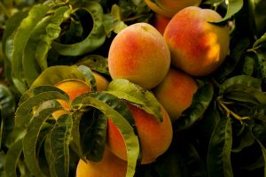 peaches-869386_1280